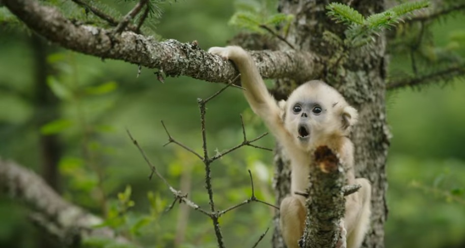 A two-year-old golden monkey who feels displaced by his new baby sister joins up with a group of free-spirited outcasts.